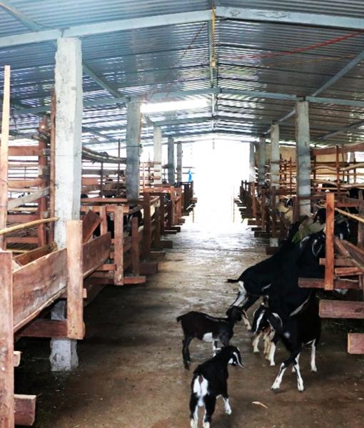 Hợp tác xã chăn nuôi dê
